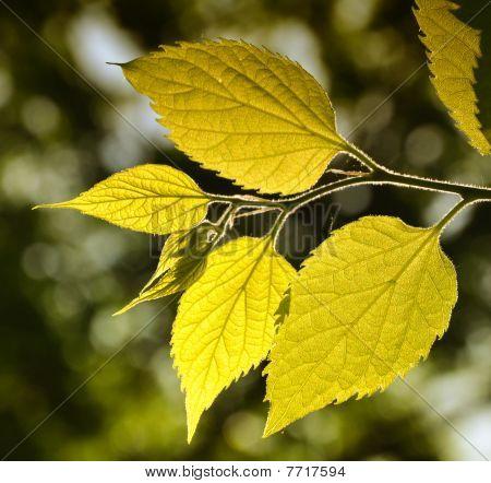 Fresh leafs