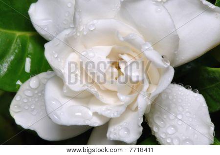 Dew covered white flower