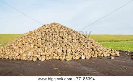 Heap Of Harvested Sugar Beets