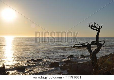 droop tree at the coast