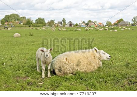 Sheep in springtime in the fields from the Netherlands poster