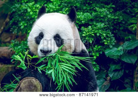 Hungry giant panda bear eating bamboo