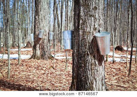 Pails in trees to collect sap of maple trees to produce maple syrup.