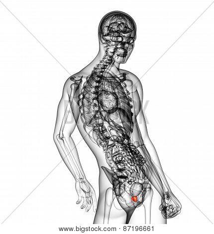 3D Render Medical Illustration Of The Prostate Gland