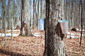 Pails in trees to collect sap of maple trees to produce maple syrup. poster