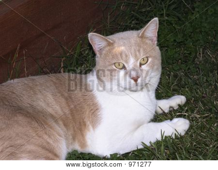 poster of buff colored tom cat posing for the camera
