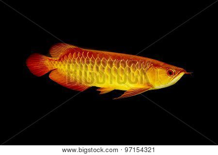 Arowana Fish ,dragonfish