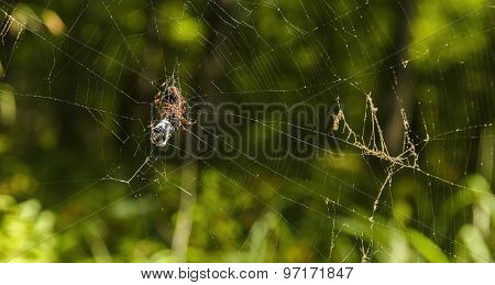Spider Devouring His Prey In The Web