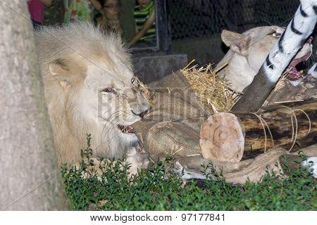 White Lion Maul A Fake Zebra