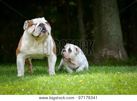 puppy and adult dog playing outside - bulldog puppy 3 months and adult 6 years