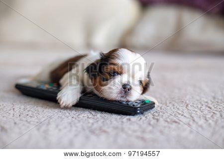 Face Of Little Shih-tzu Puppy