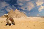 camel near the gizeh pyramids in cairo egypt. poster
