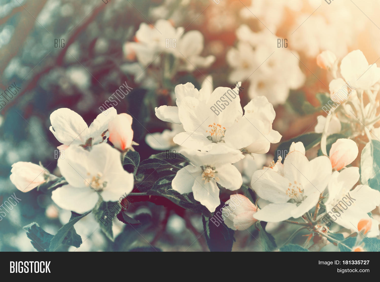 Spring Blooming Apple Image Photo Free Trial Bigstock