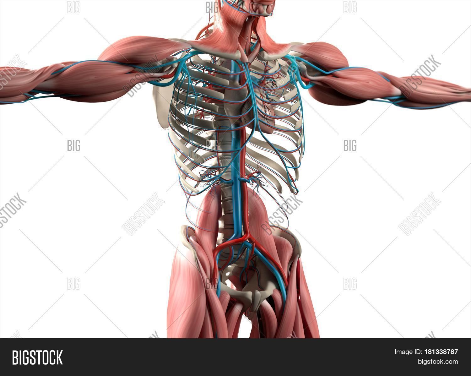 Heart Vascular System Image Photo Free Trial Bigstock
