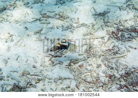 Picasso triggerfish ( Rhinecanthus aculeatus ) swimmming around the reef