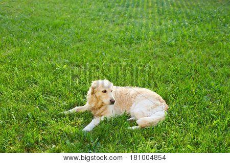 Golden retriever lying on green lawn in summer