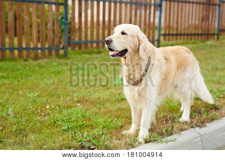 Cute labrador dog standing on green lawn by fence
