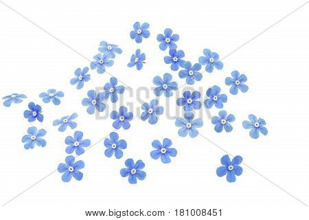 Forget me not flowers closeup shot, isolated on white