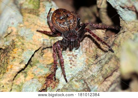 The Spider Genus Nuctenea Belongs To The Araneidae Family. Its Most Familiar Member Is The Walnut Or