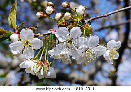 Blossoming cherry against the blue sky. Focus on the foreground. Shallow depth of field