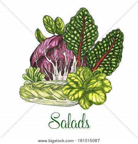 Lettuce salads vector poster sketch of leafy vegetables corn salad or chicory and oakleaf lettuce, watercress and pak choi or gotukola and collard. Vegetarian cuisine veggie leaf salad