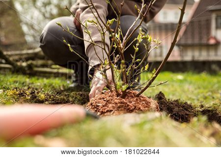 woman is planting a bush in the own garden gardening hobby