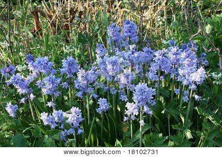 Bluebells. Hyacinthoides (Endymion hispanicus).