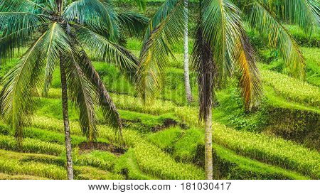 Close up of Beautiful Huge Palm Tree in Amazing Tegalalang Rice Terrace fields, Ubud, Bali, Indonesia.