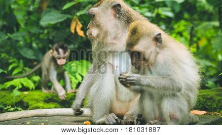 Long-tailed macaque with young ones on forage. Macaca fascicularis, in Sacred Monkey Forest, Ubud, Indonesia.