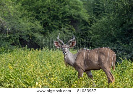 Young Greater kudu bull looking at the camera