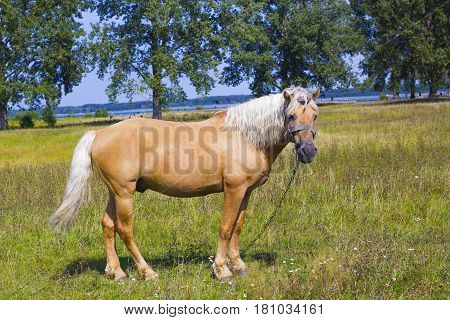Light brown horse with white mane stands on meadow. Palomino horse in field, side view