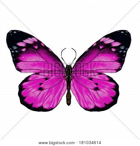 butterfly with open wings top view the symmetrical drawing graphics sketch vector color image pink purple wings with black pattern on the edges