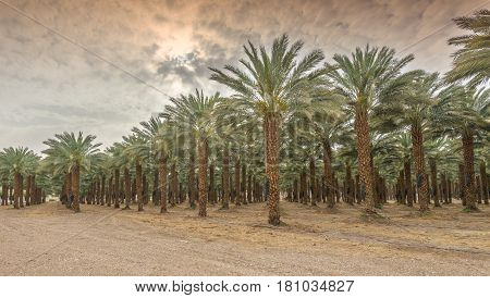 Plantation of date palms have an important place in advanced desert agriculture of the Middle East. Image slightly toned for vintage effect