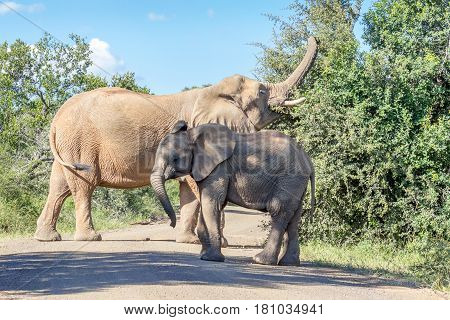 Female African bush elephant and her young in Marakele national park