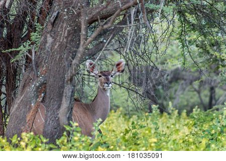 Greater kudu female standing behind a tree looking at the camera
