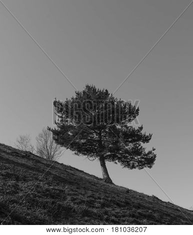 The wind twisted tree on the sloping mountain