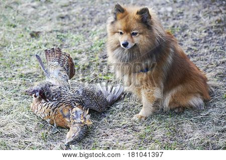 Spitz Sitting On Prey In The Grass, The Hunter