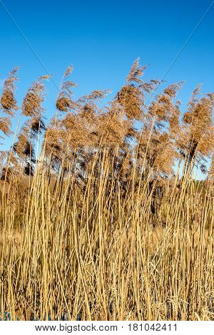 River reeds swaying in the spring breeze at sunset
