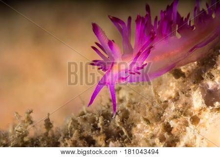 Flabellina Rubrolineata Nudibranch, Sea Slug