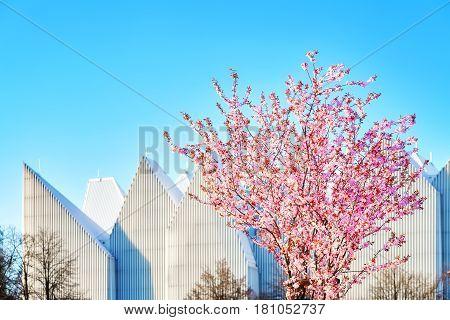 Beautiful Blossom Pink Tree In Szczecin, Poland.