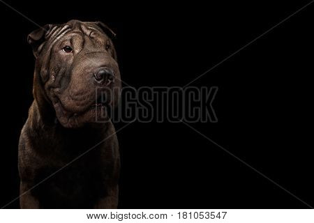 Close-up Portrait of Sharpei Dog, on Isolated Black Background, Front view