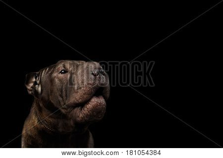 Close-up Portrait of Growls Sharpei Dog, on Isolated Black Background, Front view