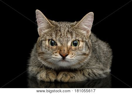 Unusual Cat with wide nose, stare suspects and lying on Isolated Black background, front view