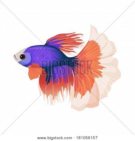 Betta small colorful, freshwater ray-finned fish realistic vector illustration isolated on white background. Siamese fighting fish with luxury red tail and purple body