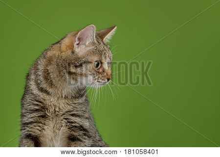 Portrait of Cat Looking at side on Green background, profile view