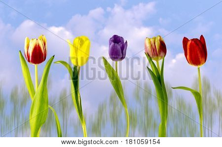 Multi coloured tulips on a cloudy sky and trees in the background.