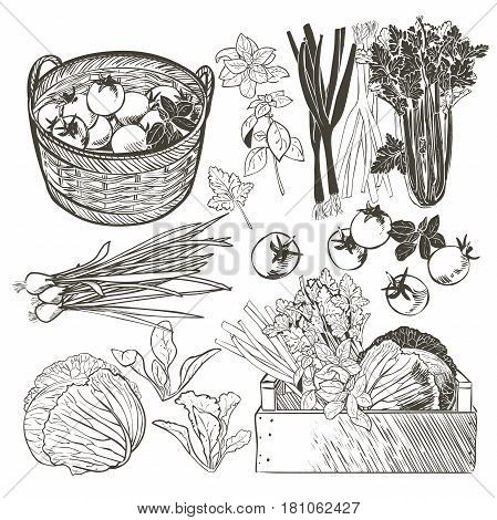 wooden crate and basket full of fresh vegetables, tomatoes and herbs. Celery cabbage greens onions garlic basil parsley. vector isolated sketch hand drown illustration