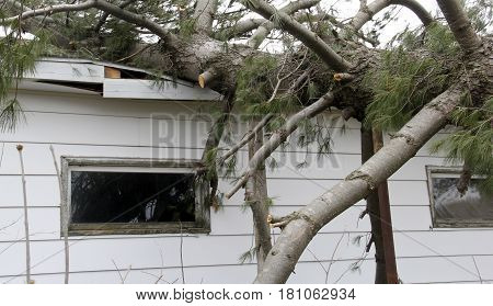 Tornado causes roof damage with a fallen Pine tree