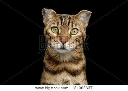 Portrait of Bengal Cat with with frostbitten ears on isolated Black Background, front view