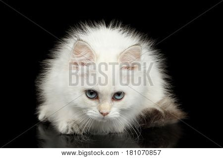 Angry British Kitten of White color Fur and Blue eyes Sitting and gazing in camera on Isolated Black Background